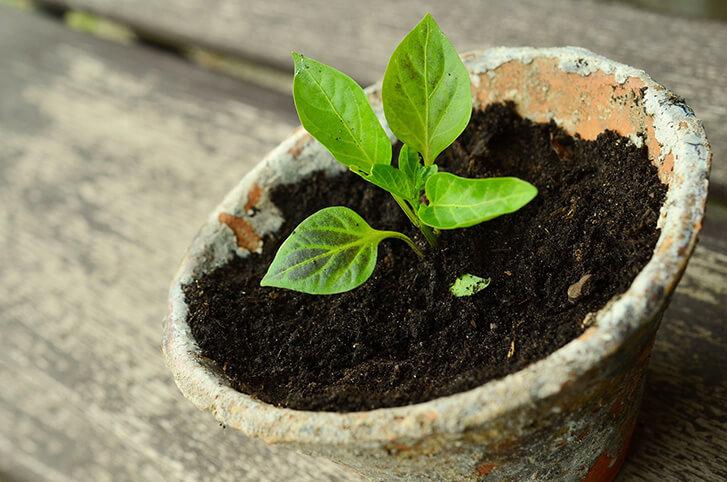 organik fide yetiştirme, organik fide