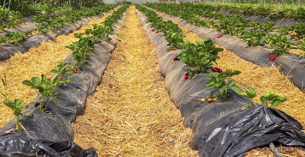 organik çilek yetiştirmek için malçlama yöntemi