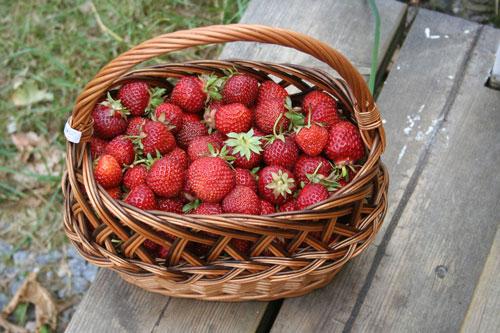 organik çilek yetiştirmek