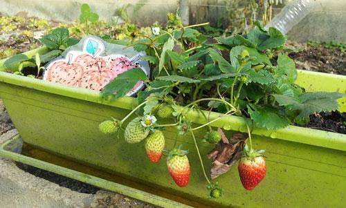 Balkonda organik çilek yetiştirmek