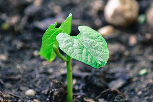 Fasulye Yetiştirmek İçin En Pratik Yöntemler Nelerdir?