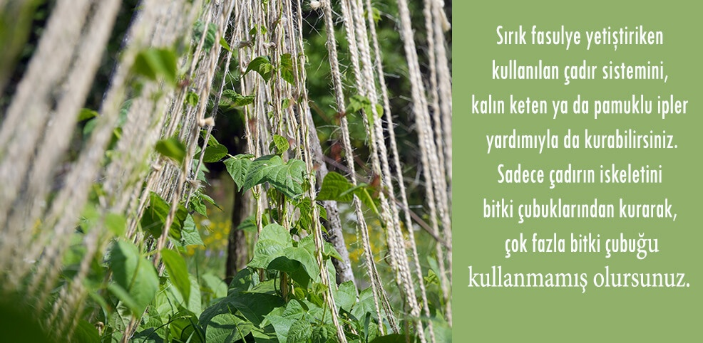 sırık fasulye yetiştirmek,fasulye yetiştiriciliği, doğal yaşam