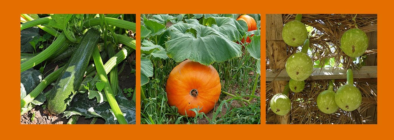 kabak yetişirmek, kabak yetiştiriciliği, doğal yaşam