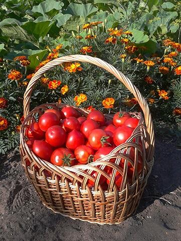 organik domates yetiştirme hastalıklarla mücadele kadife çiçeği