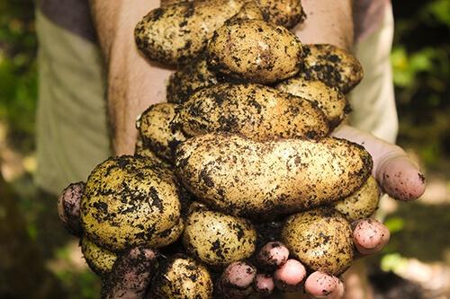 organik patates yetiştirme yöntemleri, bahçede ve balkonda