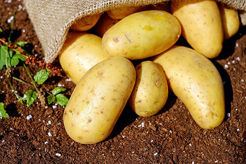 Organik patates hasat şekli, çuvalda patates