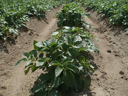 organik patates tarla ekimi