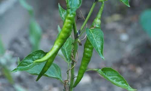 bahçede biber nasıl yetiştirilir