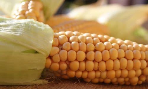 balkonda mısır yetiştirmek