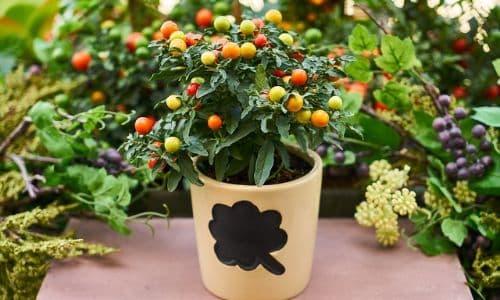 balkonda domates yetiştirmek