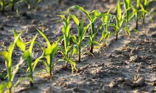 mısır yetiştiriciliğinde çapalama