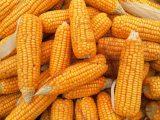 mısır yetiştirme, mısır yetiştirmek, mısır yetiştiriciliği, organik mısır yetiştirme, balkonda mısır yetiştirmek, mısır yetiştiriciliği bakım takvimi