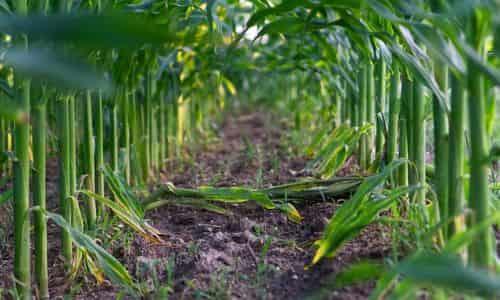 mısır yetiştirme için toprak hazırlığı