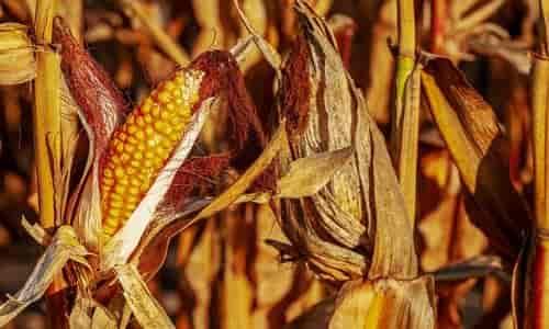 mısır yetiştirme, hasat zamanı