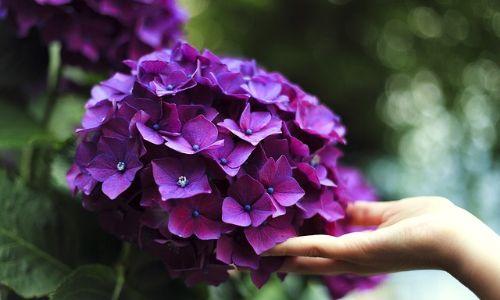 ortanca çiçeği, ortanca