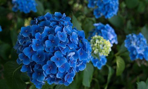 ortanca, mavi ortanca çiçeği