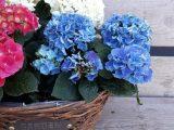 ortanca çiçeği, ortanca, ortanca çiçeği hakkında her şey, ortanca bakımı, ortanca nasıl çoğaltılır