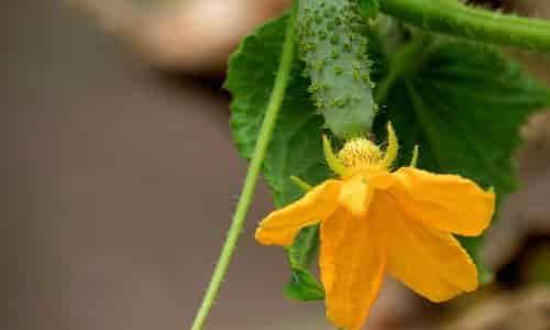 salatalık nasıl yetiştirilir, salatalık yetiştirme, salatalık yetiştiriciliği