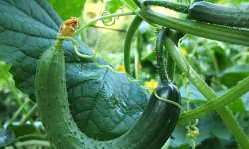 salatalık nasıl yetiştirilir, saksıda salatalık, evde salatalık balkonda salatalık,